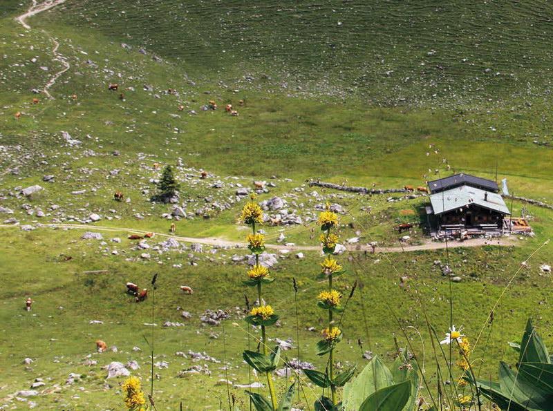 Gelber Enzian hoch über der Ehard-Alm; links ist die Aufstiegsroute zum Brecherspitz zu erkennen.