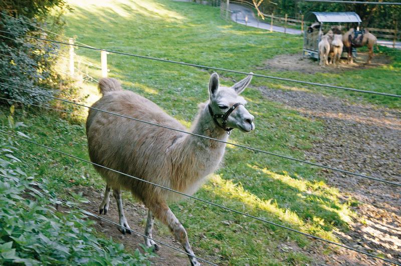 Lama im Gehege an der Grubmühle