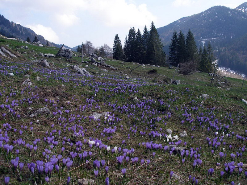 Wenn man zum richtigen Zeitpunkt (meist April) unterwegs ist, dann kann man an den Südhängen des Feichtecks ganze Krokus-Wiesen vorfinden. (Foto: Dietmar Kocher)