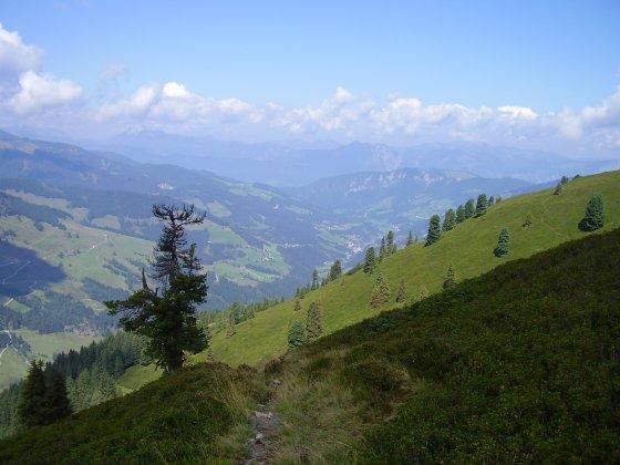 Weitläufige Grashänge und Alpenrosen, dazu zerzauste Zirbenbäume -  typisch für die Kitzbühler Bergwelt